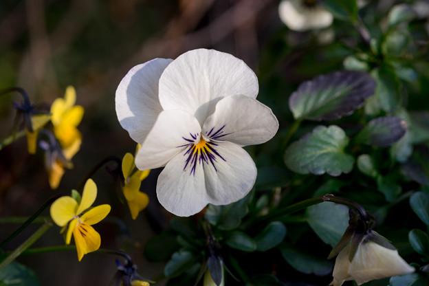 冬の庭に咲く花【パンジー】