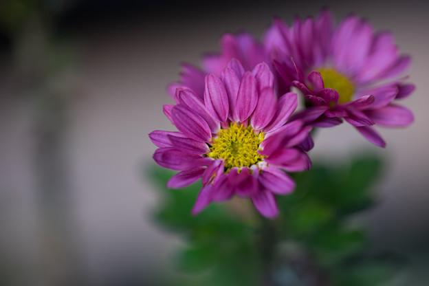 冬の庭に咲く花【小菊】2