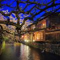 写真: 祇園白川夜櫻