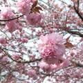 体育館の八重桜4