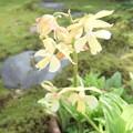 鉢植えのエビネ