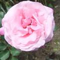 四季咲きバラ2