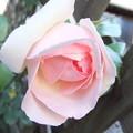 庭の蔓バラ ピエール・ドゥ・ロンサール