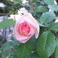 庭の蔓バラ ピエール・ドゥ・ロンサール2