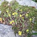 石の上に黄色い花