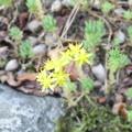 石の上に黄色い花2