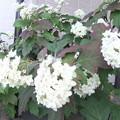 柏葉紫陽花2
