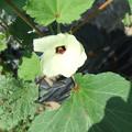 丸オクラの花2