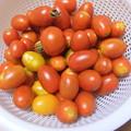 家庭菜園のミニトマト アイコ