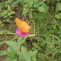 写真: 百日草とツマクロヒョウモン蝶3