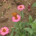 写真: 百日草とツマクロヒョウモン蝶4