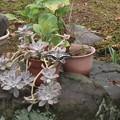 写真: 庭のアゲハ蝶