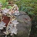 写真: 庭のアゲハ蝶2