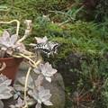 写真: 庭のアゲハ蝶3