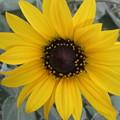 ミニ向日葵2
