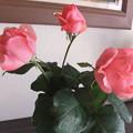 写真: 家庭菜園の薔薇