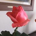 家庭菜園の薔薇2