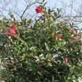 写真: 山茶花の花