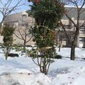 写真: 雪と山茶花の花