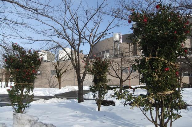 雪と山茶花の花2