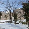 写真: 雪と山茶花の花2