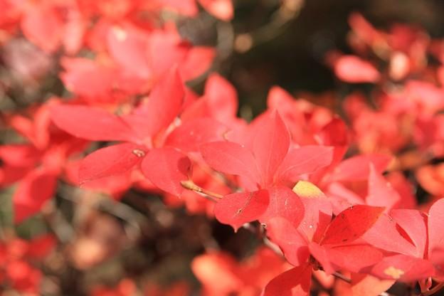 IMG_7794宝筐院・灯台躑躅の紅葉