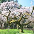 写真: IMG_2773京都御所・近衞邸跡の糸桜