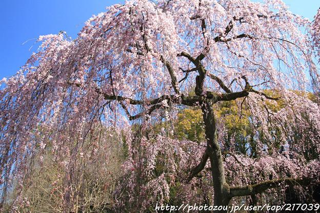 IMG_2821京都御所・出水の糸桜