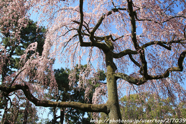 IMG_2835京都御所・出水の糸桜