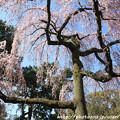 写真: IMG_2835京都御所・出水の糸桜
