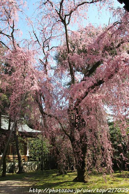 IMG_3121平安神宮・南神苑・八重紅枝垂桜