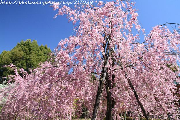 IMG_3131平安神宮・南神苑・八重紅枝垂桜