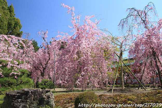 IMG_3139平安神宮・南神苑・八重紅枝垂桜