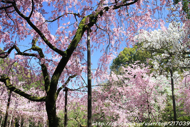 IMG_3144平安神宮・南神苑・八重紅枝垂桜と桜