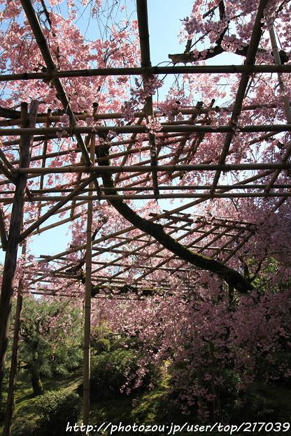 IMG_3166平安神宮・南神苑・八重紅枝垂桜
