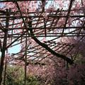 Photos: IMG_3166平安神宮・南神苑・八重紅枝垂桜