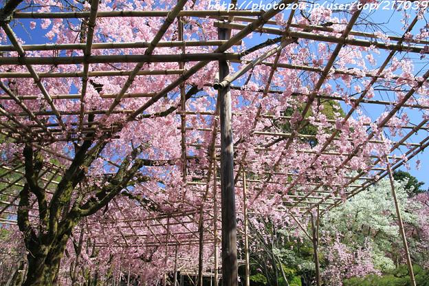IMG_3168平安神宮・南神苑・八重紅枝垂桜