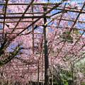 Photos: IMG_3168平安神宮・南神苑・八重紅枝垂桜