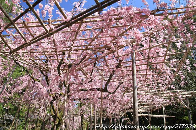 IMG_3174平安神宮・南神苑・八重紅枝垂桜