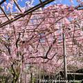 Photos: IMG_3174平安神宮・南神苑・八重紅枝垂桜