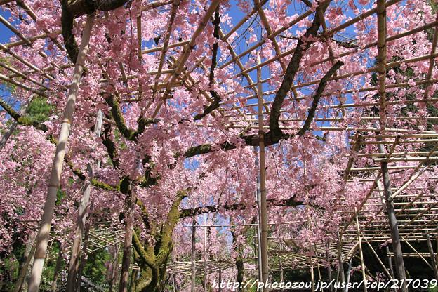 IMG_3179平安神宮・南神苑・八重紅枝垂桜