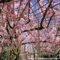 Photos: IMG_3179平安神宮・南神苑・八重紅枝垂桜