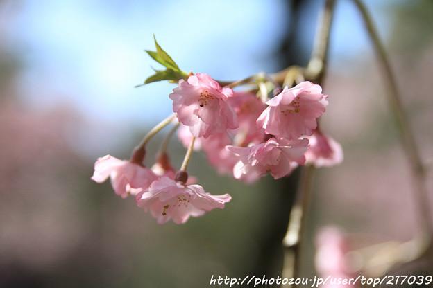IMG_3185平安神宮・南神苑・八重紅枝垂桜