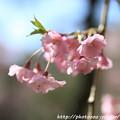 Photos: IMG_3185平安神宮・南神苑・八重紅枝垂桜