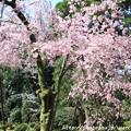 Photos: IMG_3194平安神宮・南神苑・八重紅枝垂桜