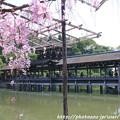 IMG_3312平安神宮・東神苑・八重紅枝垂桜と泰平閣(橋殿)