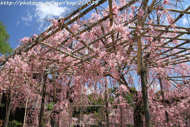 IMG_3313平安神宮・東神苑・八重紅枝垂桜
