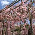 Photos: IMG_3313平安神宮・東神苑・八重紅枝垂桜