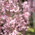 IMG_3324平安神宮・東神苑・八重紅枝垂桜
