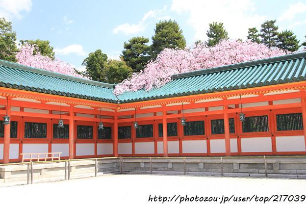 IMG_3347平安神宮・八重紅枝垂れ桜